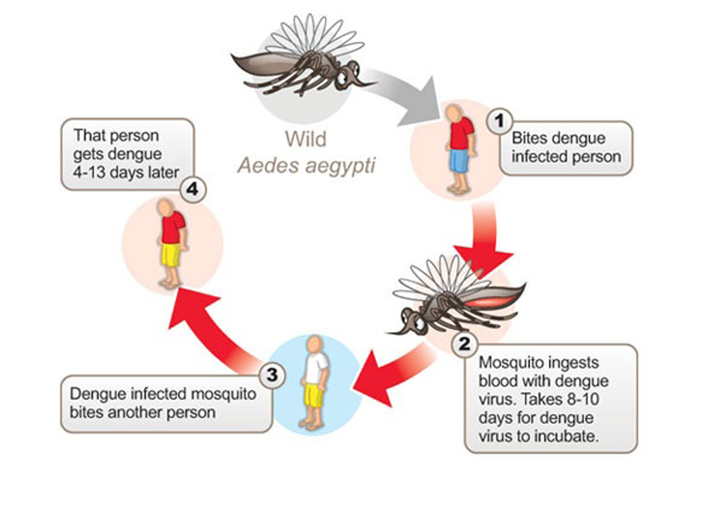Stay Safe From Dengue Mosquitoes